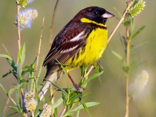- Yellow-breasted Bunting