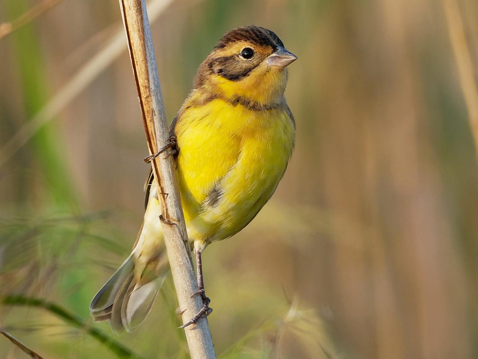 Yellow-breasted Bunting - Vincent Wang