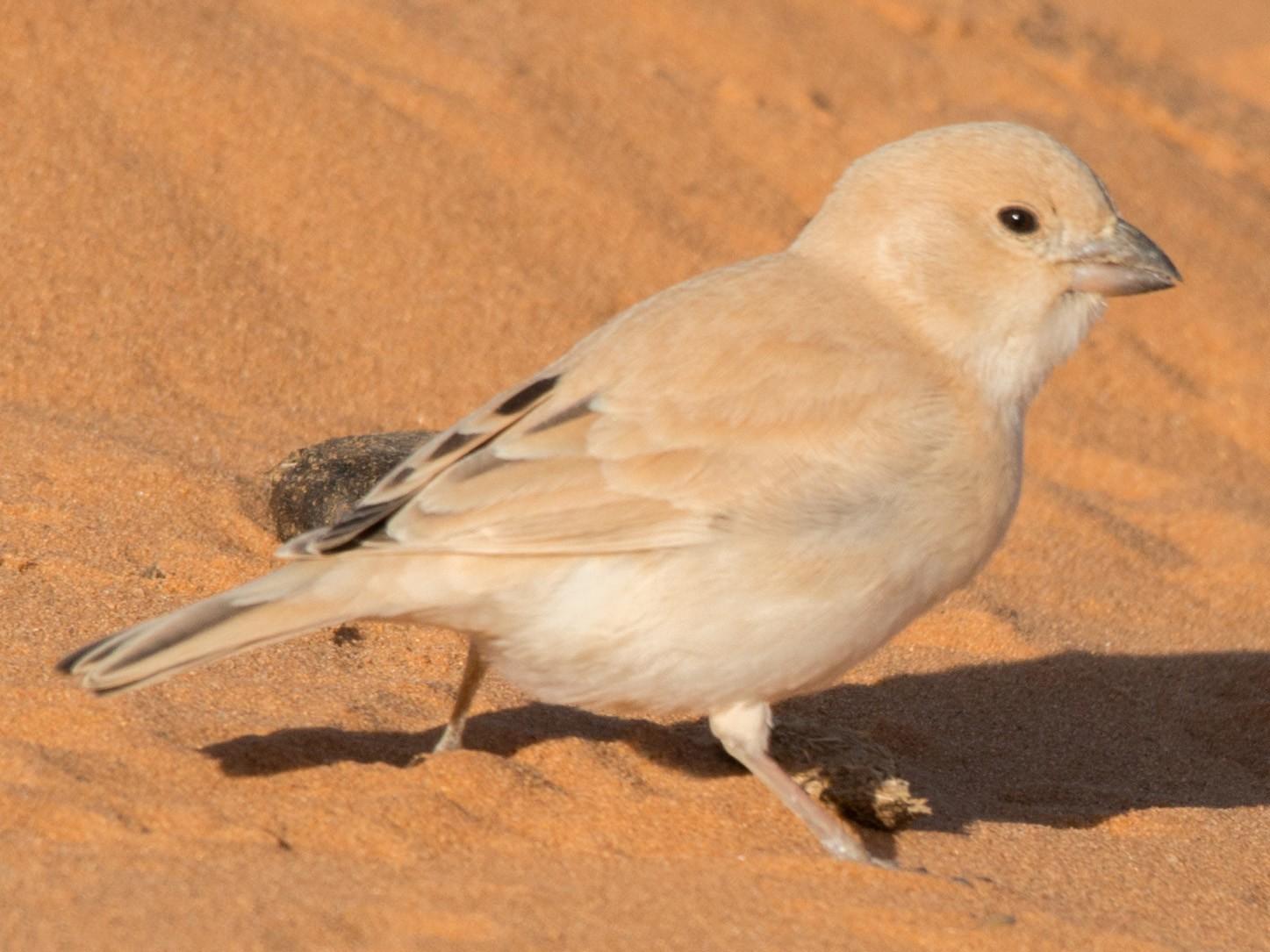 Desert Sparrow - John C. Mittermeier