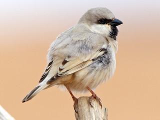 - Desert Sparrow