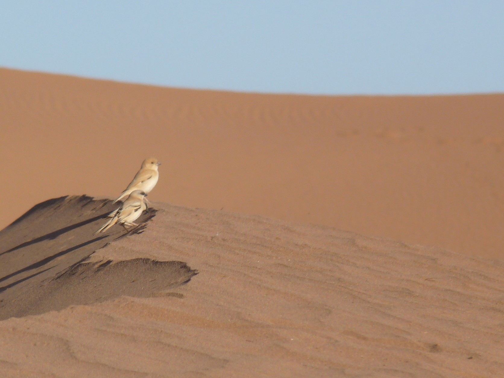 Desert Sparrow - Marie O'Neill