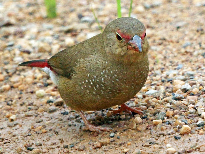 Red-billed Firefinch - Nigel Voaden
