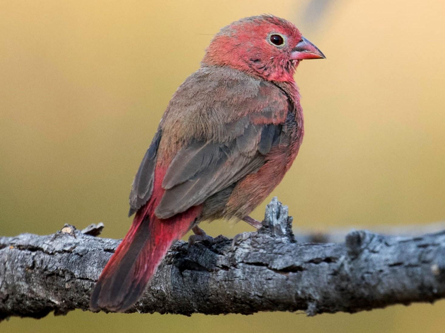 Red-billed Firefinch - Marty Herde