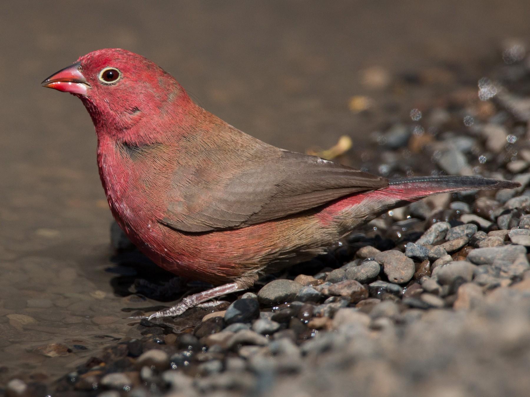 Red-billed Firefinch - Ian Davies