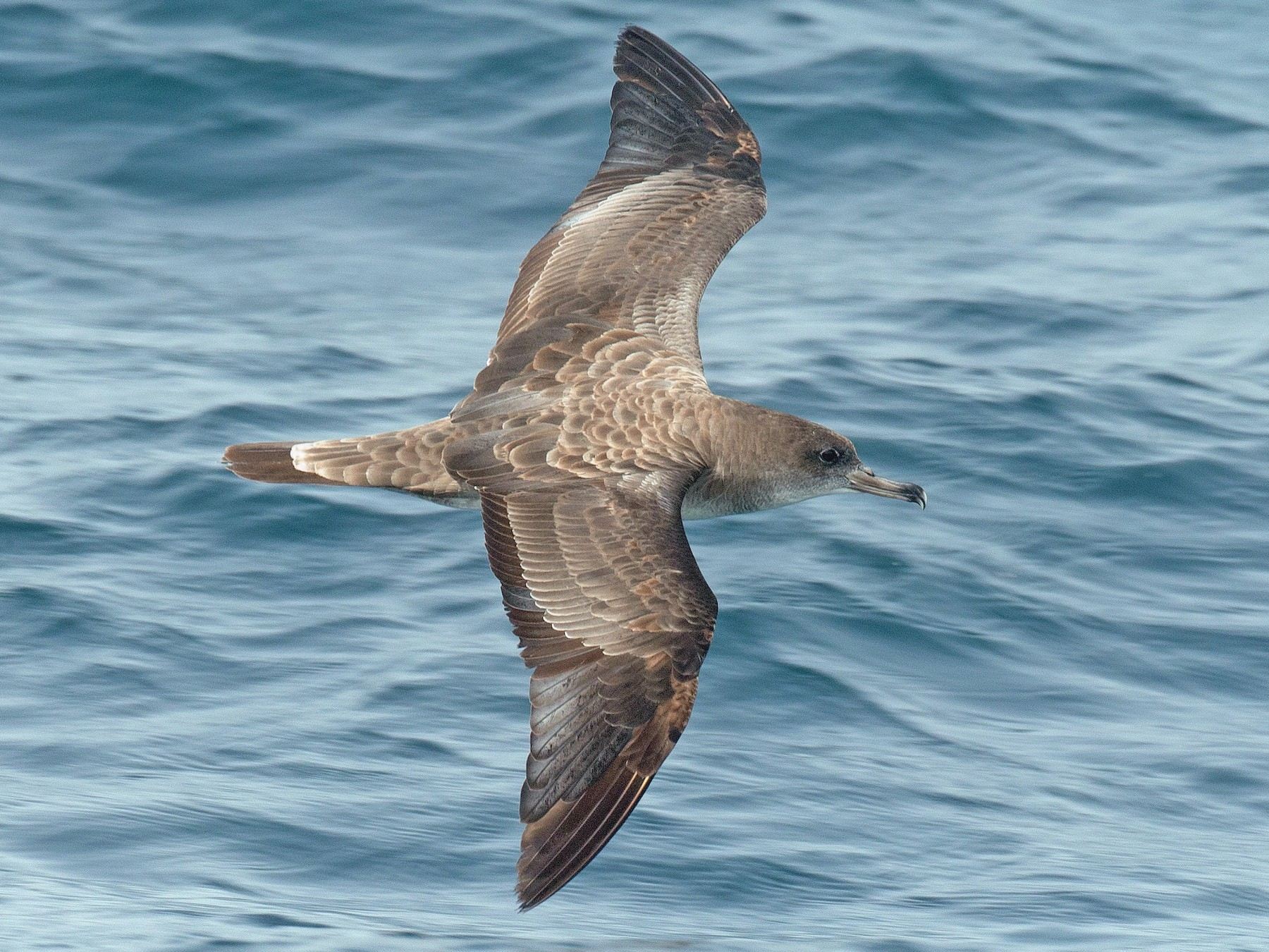 Cape Verde Shearwater - Chris Wood