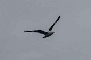 Kelp Gull, ML144324351