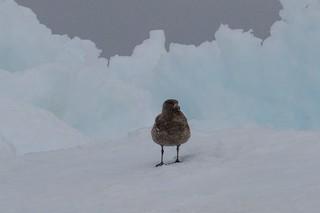 South Polar Skua, ML144326261
