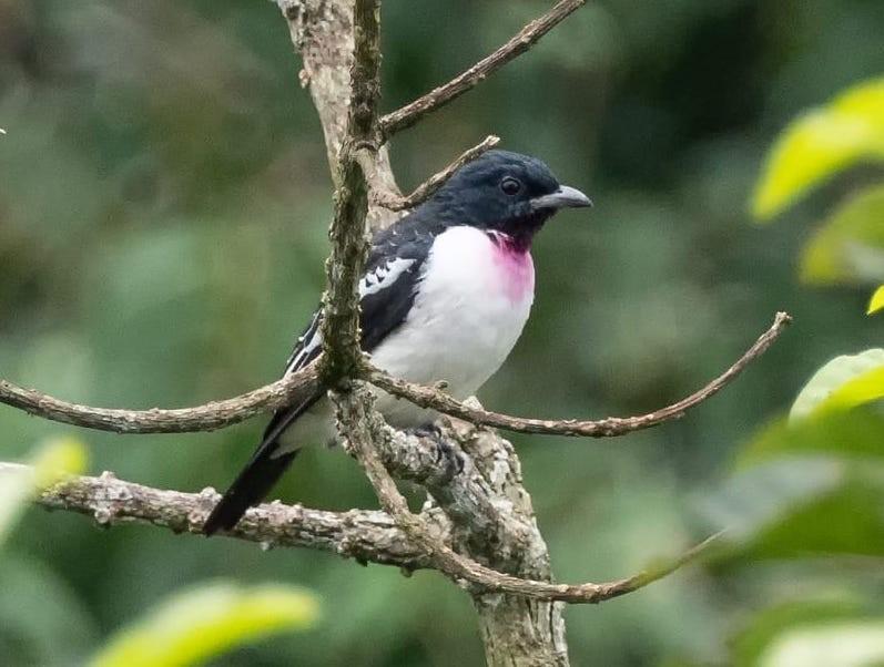 Purple-throated Cotinga - Sherry Lane