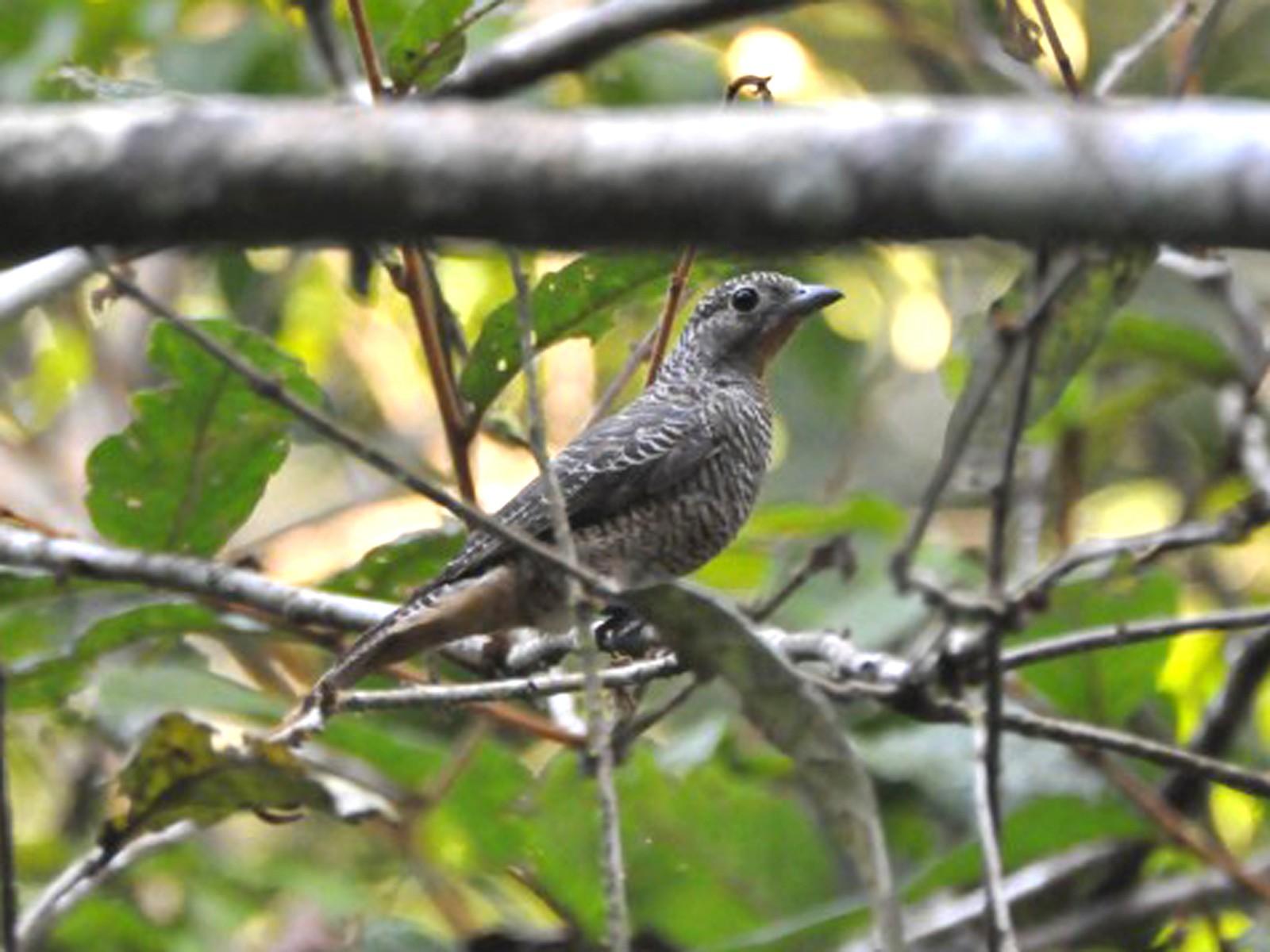 Purple-throated Cotinga - Wannes Bos