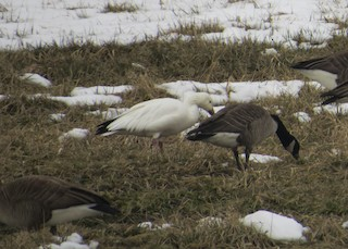 Snow Goose, ML144330211