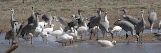 Ross's Goose, ML144533711
