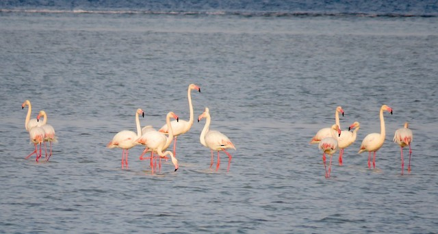 ©Brian James - Greater Flamingo