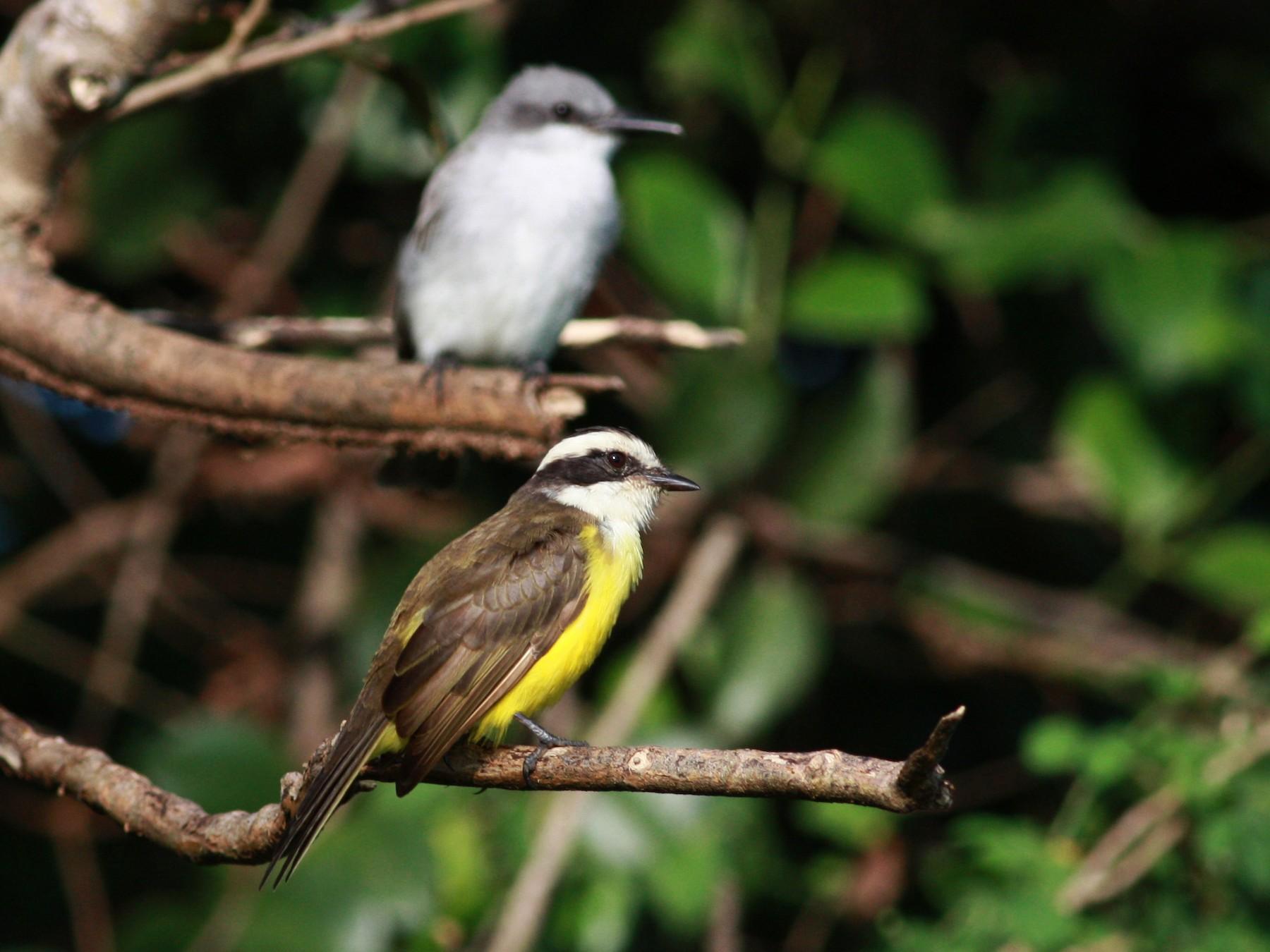 White-bearded Flycatcher - Jay McGowan