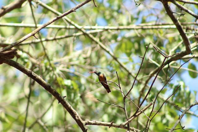 Buff-bellied Hummingbird