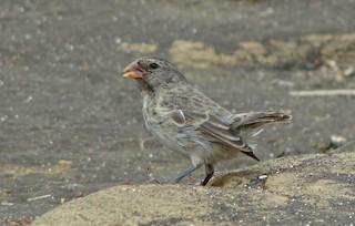 - Sharp-beaked Ground-Finch