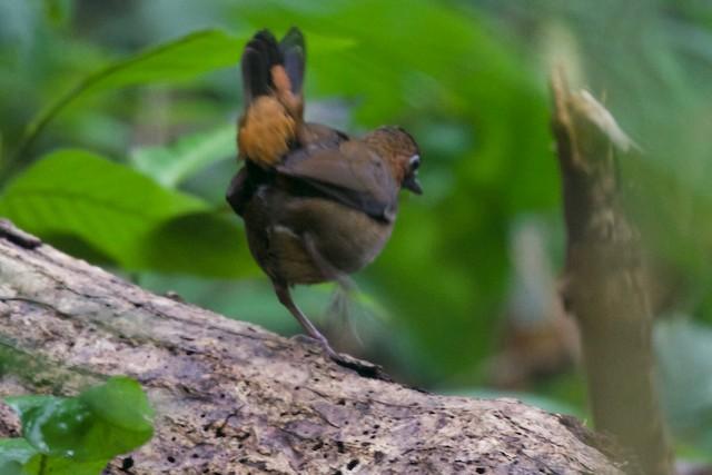 Black-faced Antthrush