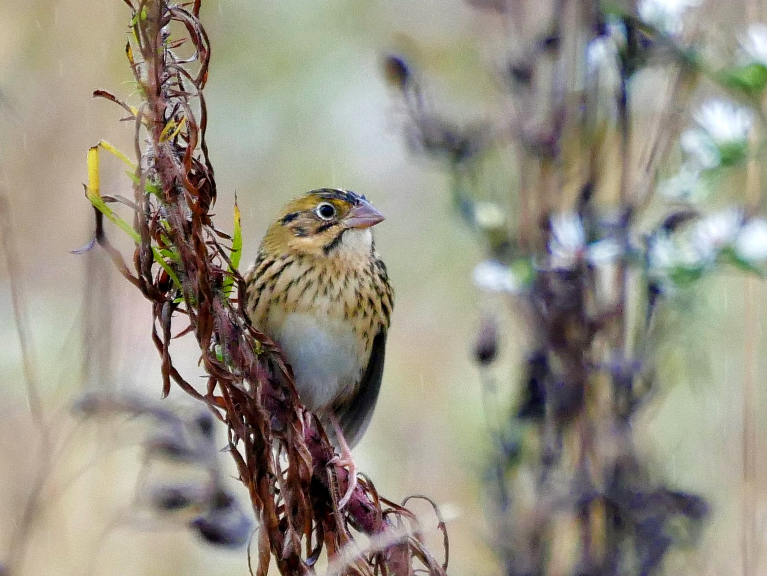Henslow's Sparrow - Chris Pierce