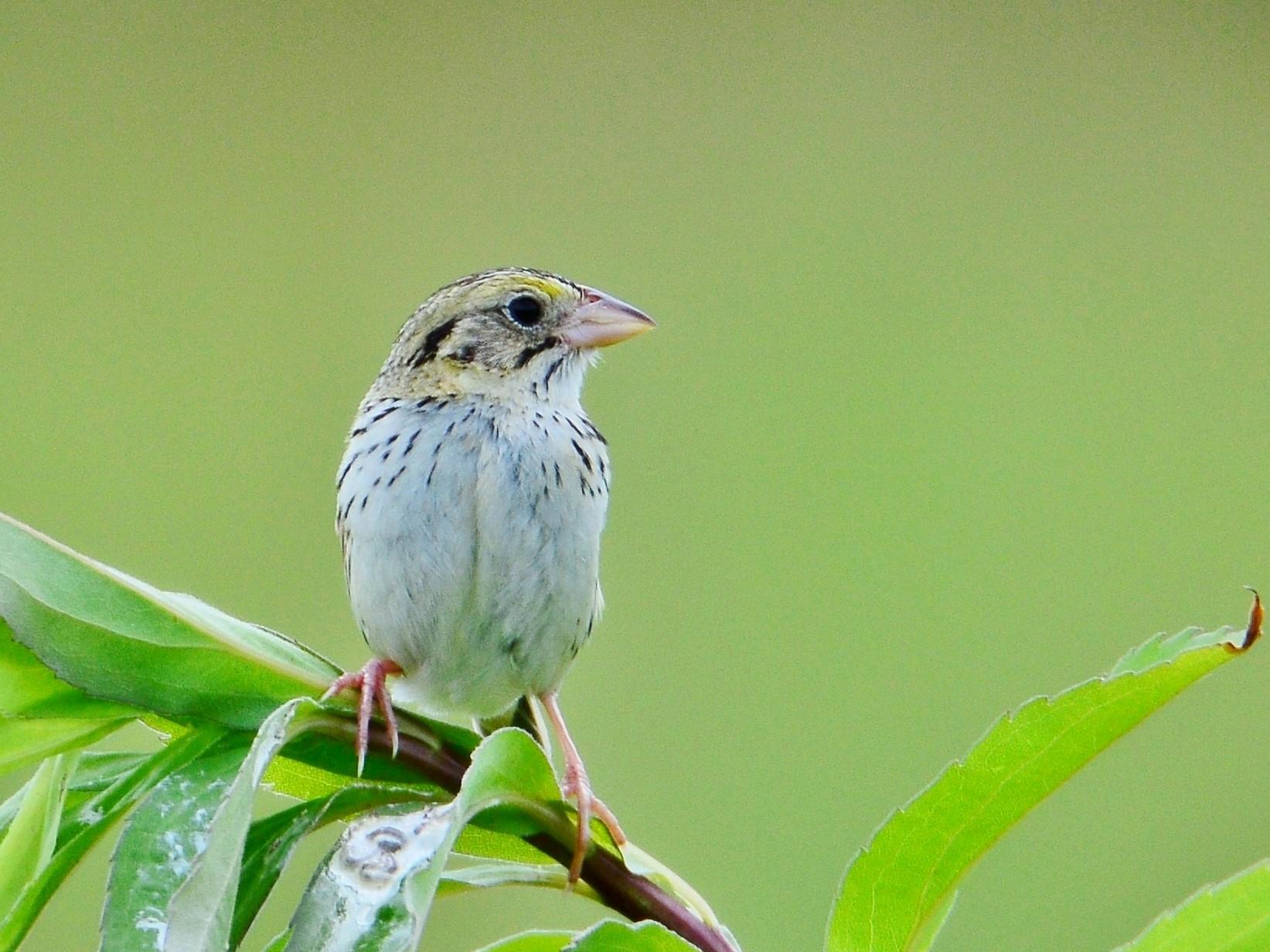 Henslow's Sparrow - Peter Nichols