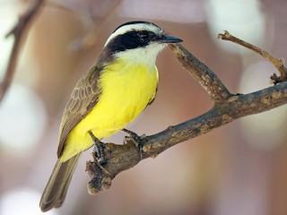 - White-bearded Flycatcher