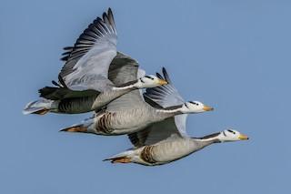 Bar-headed Goose, ML144866781