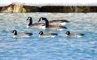 Cackling Goose, ML144878251