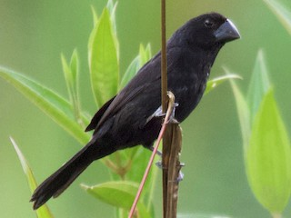 - Black-billed Seed-Finch