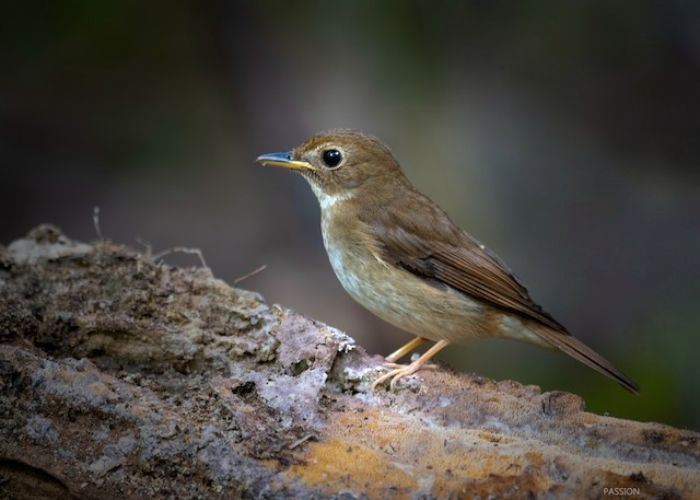 Brown-chested Jungle-Flycatcher