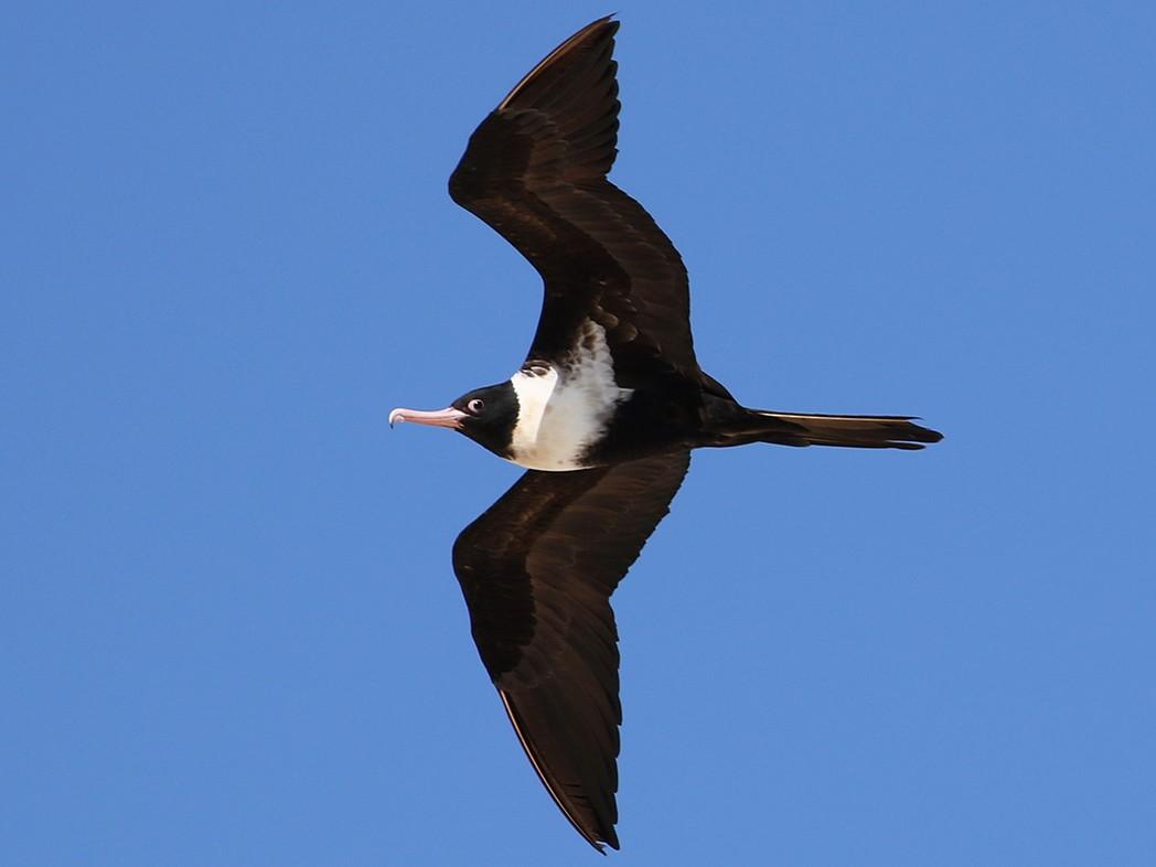 Lesser Frigatebird - Roksana and Terry
