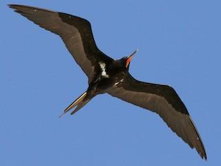- Lesser Frigatebird