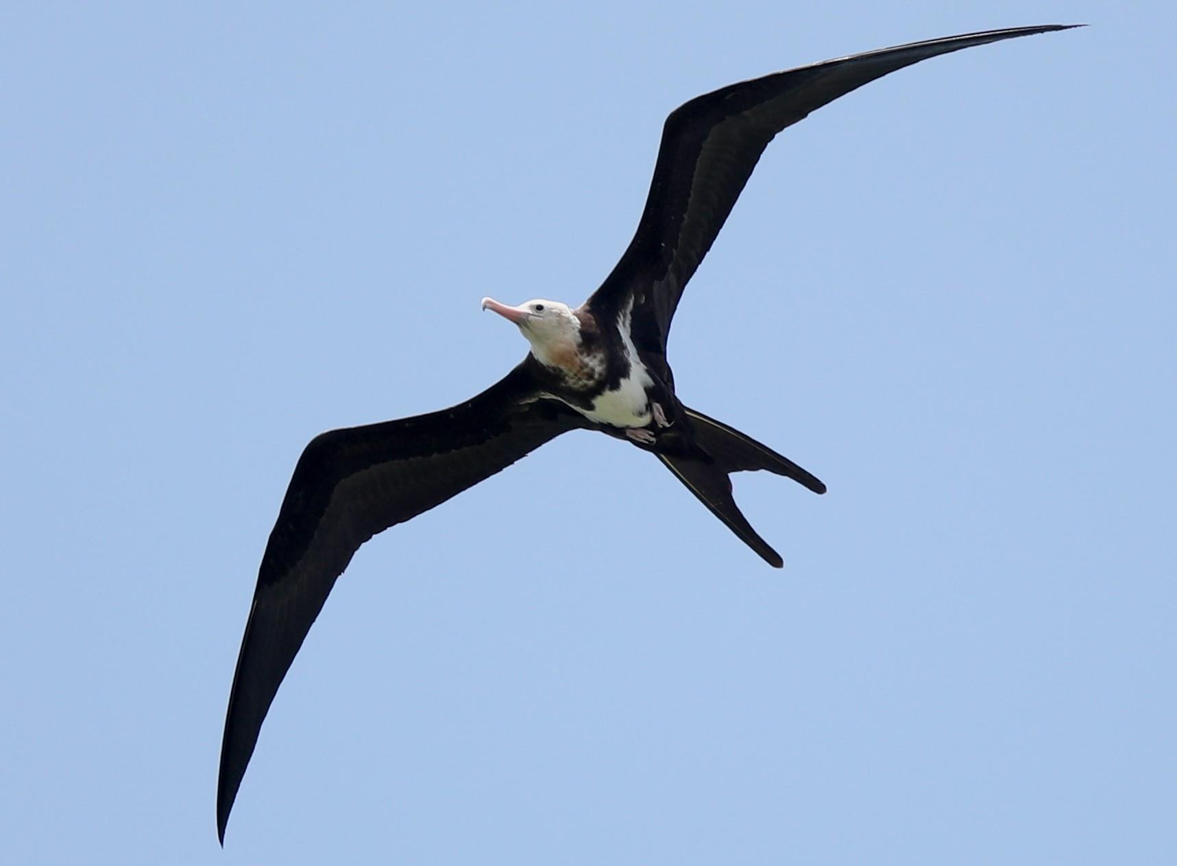 Lesser Frigatebird - Ting-Wei (廷維) HUNG (洪)