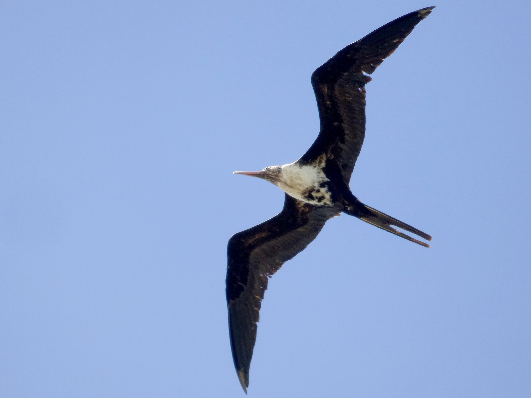 Lesser Frigatebird - Daniel shi