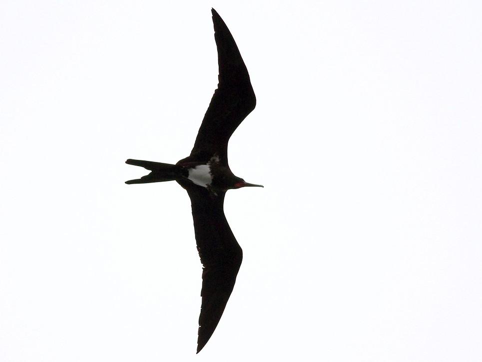 Christmas Island Frigatebird - Raphael Lebrun