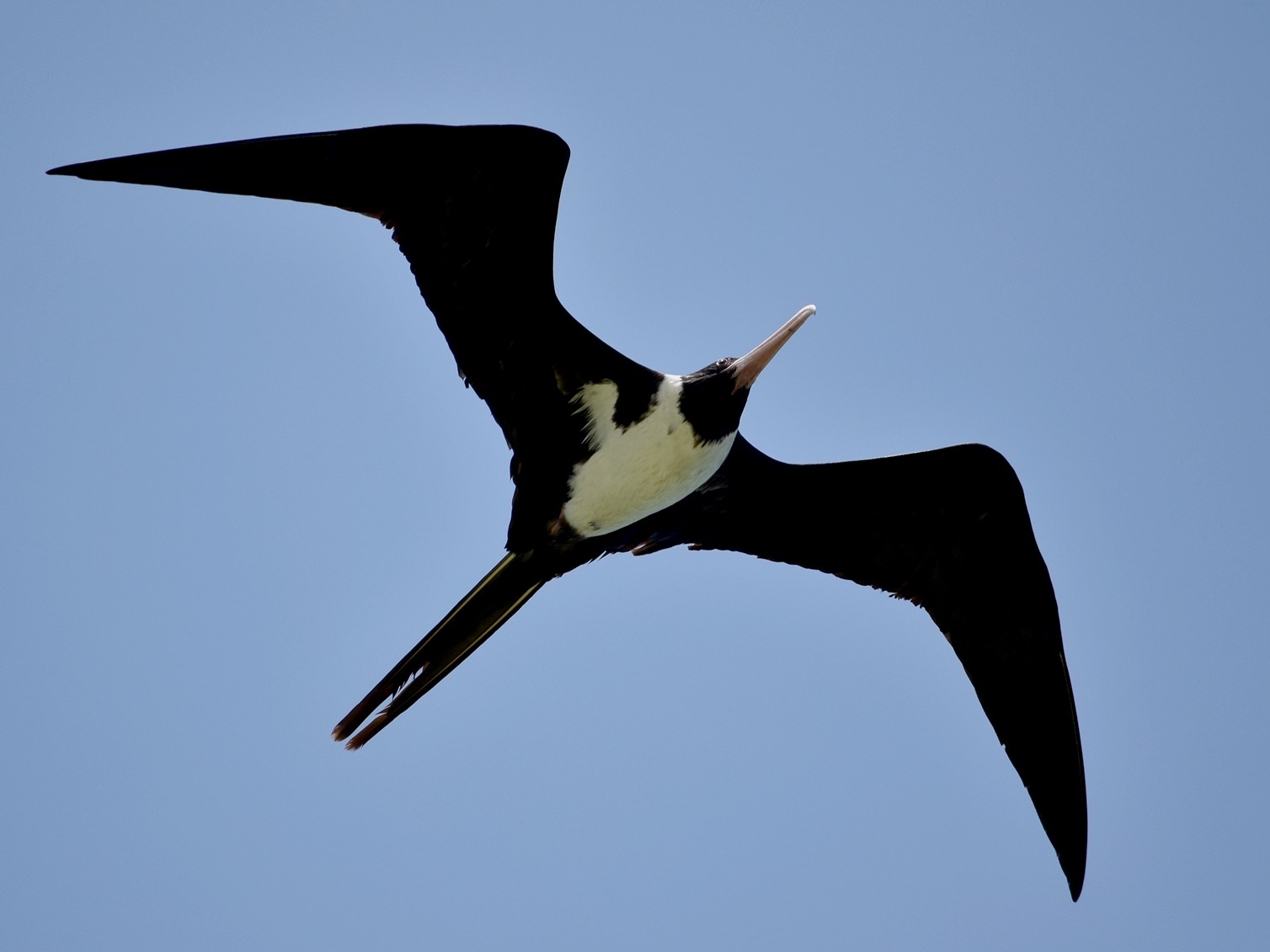 Christmas Island Frigatebird - Bill Bacon