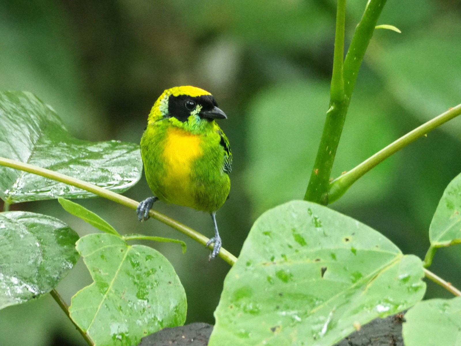 Green-and-gold Tanager - Scott Ramos