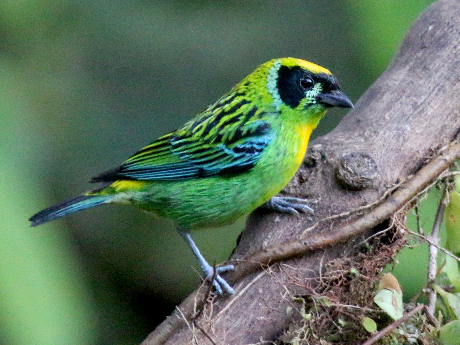 Green-and-gold Tanager - John Sevenair