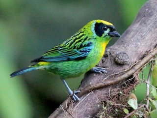 - Green-and-gold Tanager