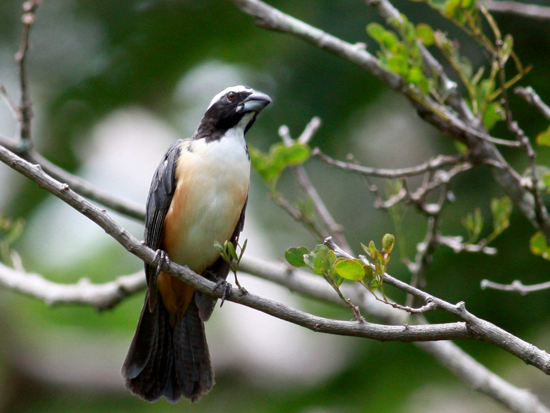 Orinocan Saltator - Jay McGowan