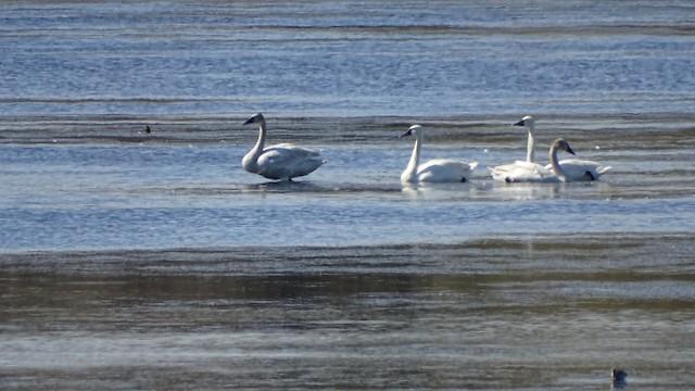 ©Anonymous eBirder - Trumpeter Swan