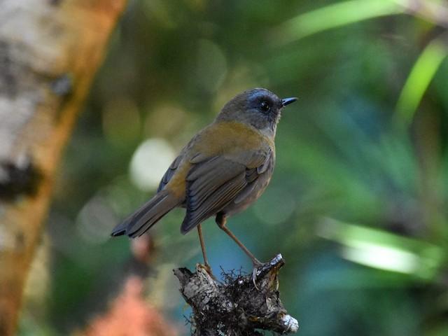 Black-billed Nightingale-Thrush