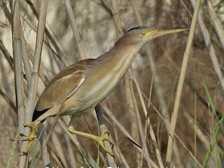 - Yellow Bittern