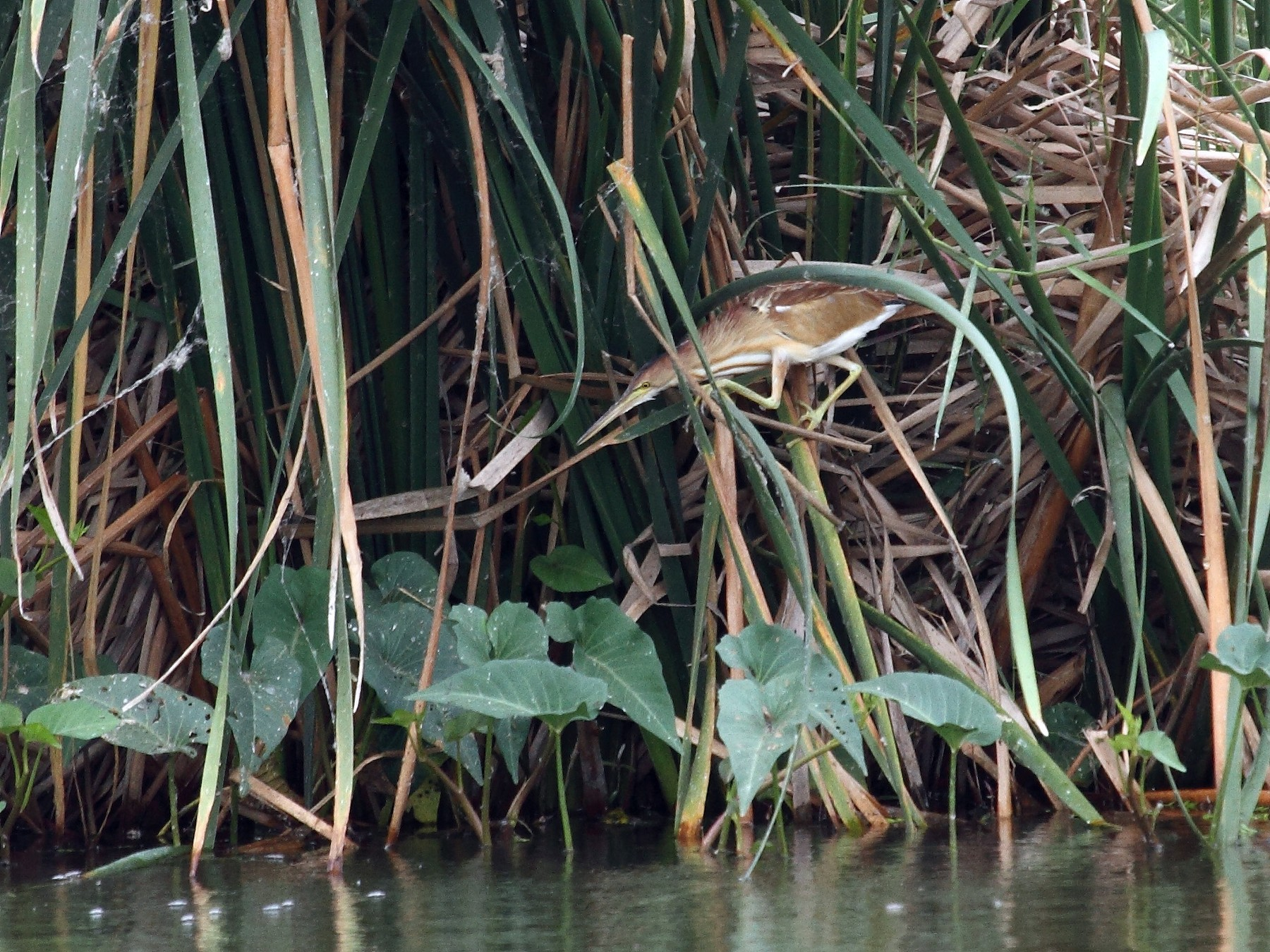 Yellow Bittern - Albin Jacob