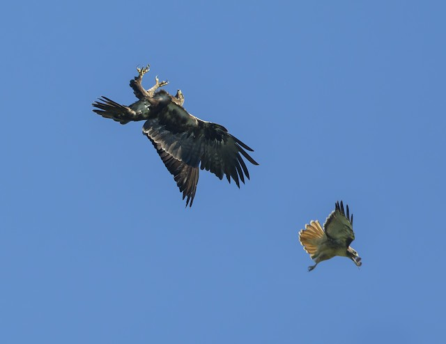 Golden Eagle being attached by Red-tailed Hawk (<em>Buteo jamaicensis</em>).
