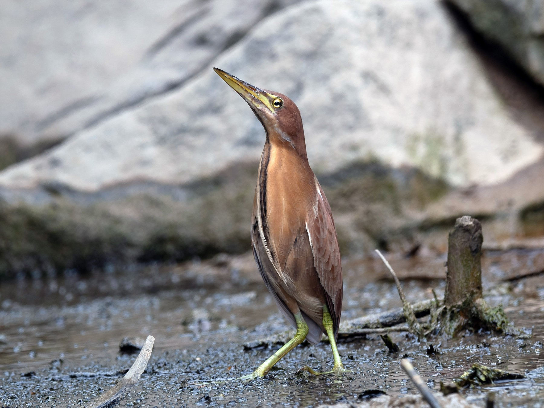 Cinnamon Bittern - Mike Hooper