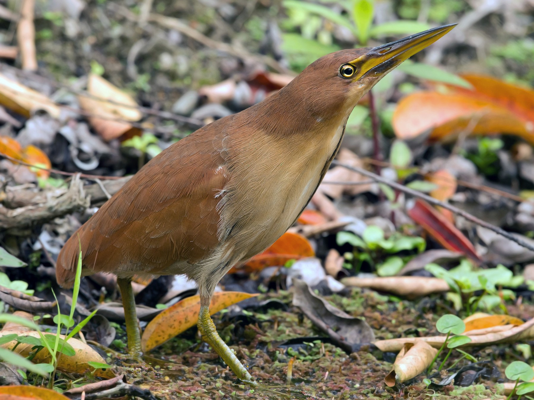 Cinnamon Bittern - David Irving