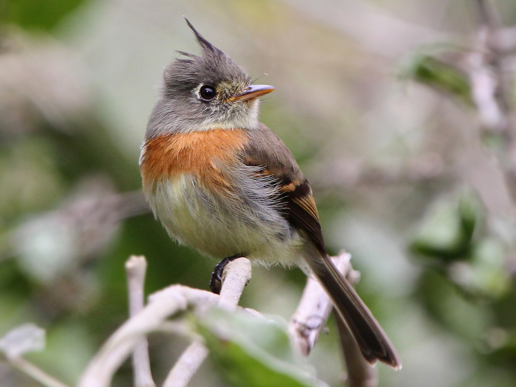 Belted Flycatcher - Christoph Moning