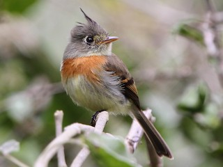 - Belted Flycatcher