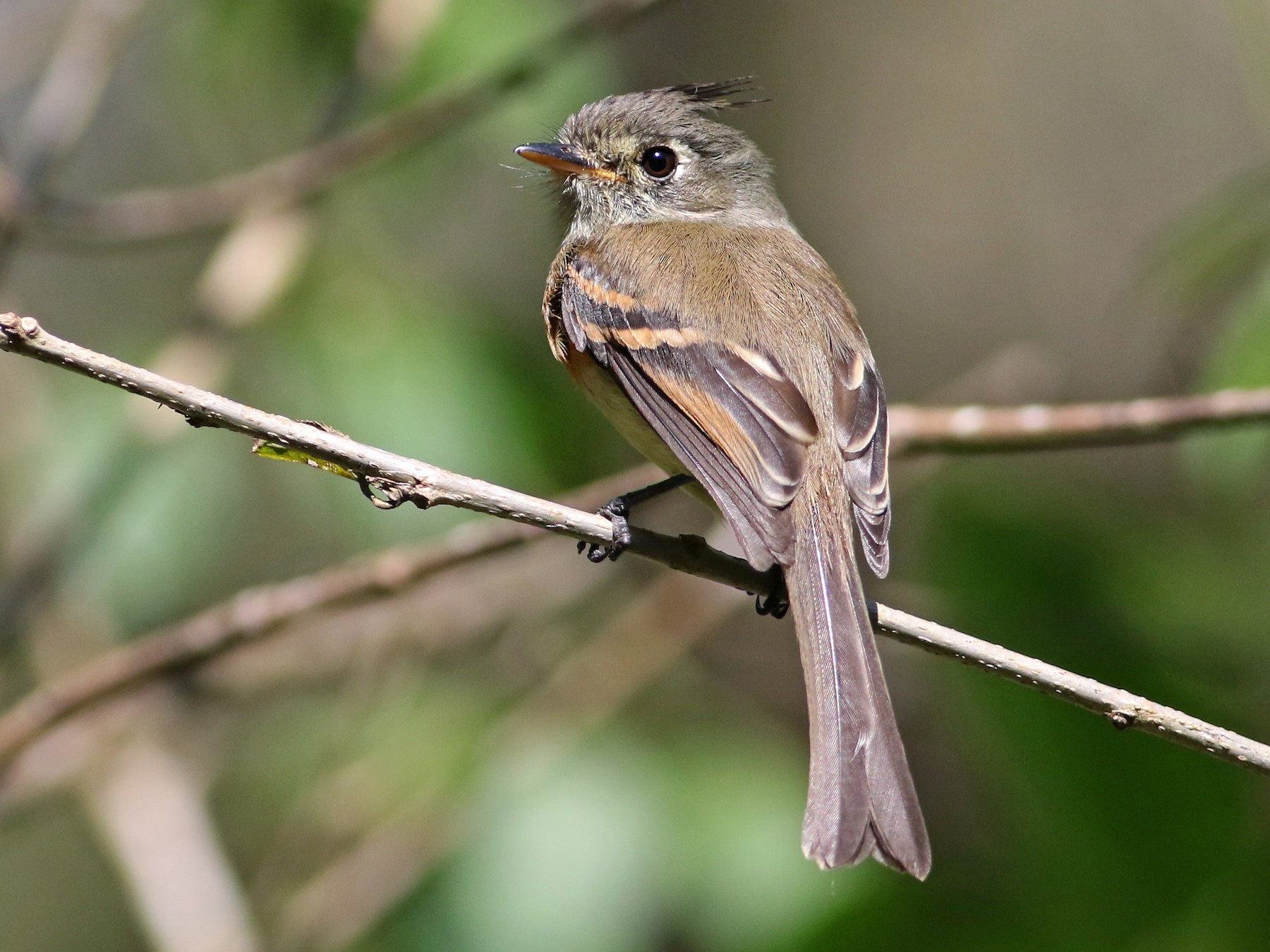 Belted Flycatcher - Andrew Spencer