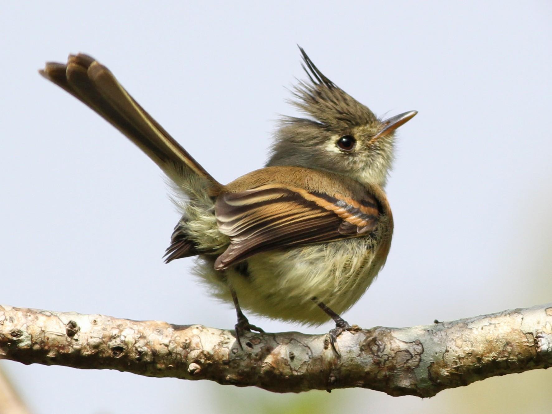 Belted Flycatcher - John Garrett