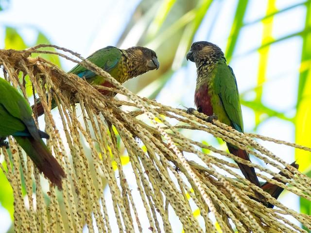 Santarem Parakeet (Madeira)