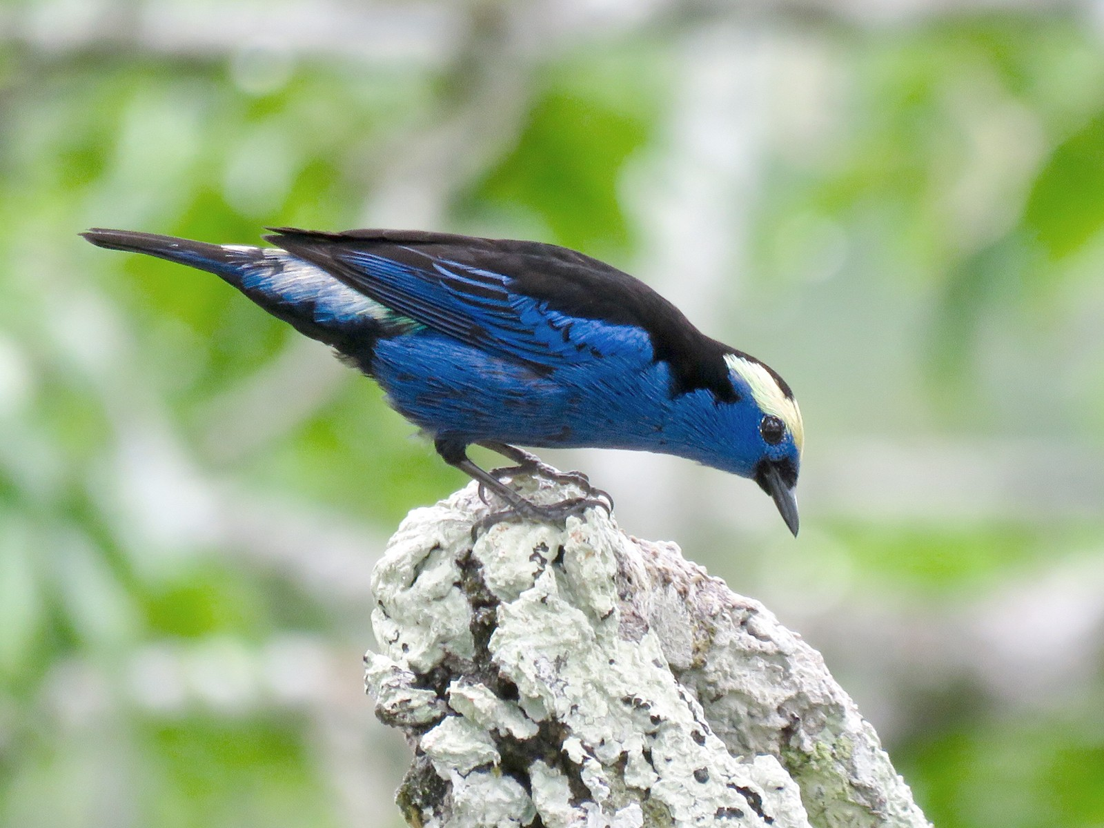 Opal-crowned Tanager - Jan Hansen